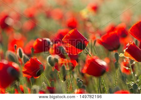 wild papaver flowers closeup with blured background