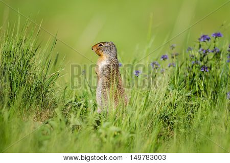 Columbian Ground Squirrel (spermophilus Columbianus)