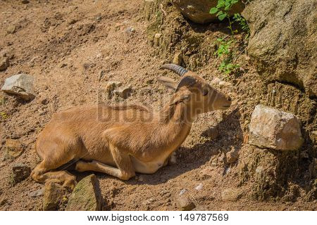 Barbary Sheep And Sunlight.