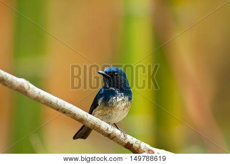 Beautiful male bird of Hainan Blue Flycatcher (Cyornis concreta) on branch in Doi inthanon Chiangmai. Thailand