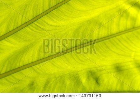 a backlit fresh green palm leaf close up