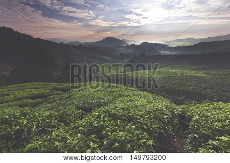 The shot of sunrise over a tea farm during a calm morning.