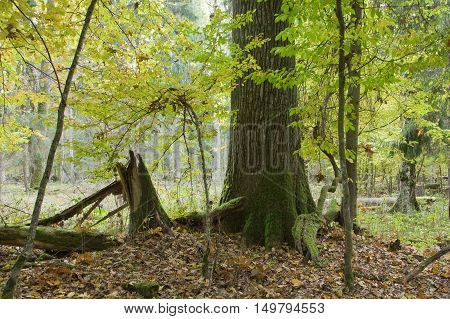 Lonely old oak tree in fall among juvenile hornbeams, Bialowieza Forest, Poland, Europe