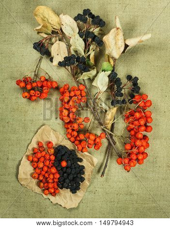 Chokeberry aronia rowanberry. Dried herbs for use in alternative medicine spa herbal cosmetics herbal medicine preparing infusions decoctions tinctures powders ointments butter tea bath.