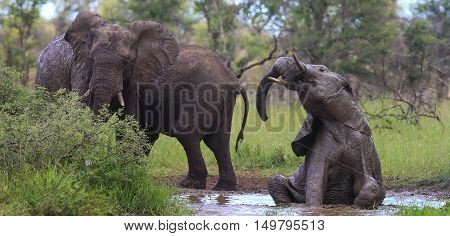 Elephants having a bath at a waterhole in The Kruger National Park South Africa