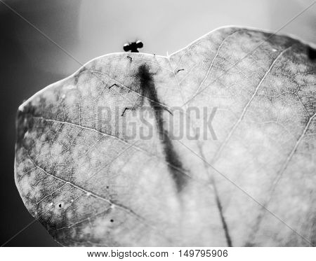 damselfly insect peering over edge of leaf with shadow silhouette on leaf