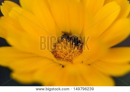 young bee on a yellow flower pistils