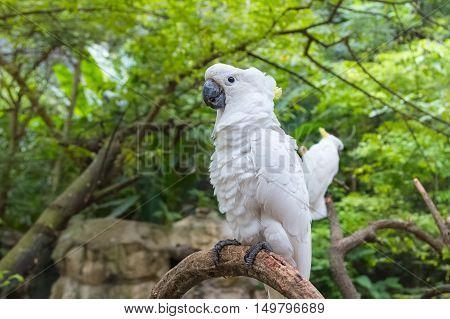 white Cockatoo Sulphur crested Cockatoo (Cacatua galerita) standing on a branch