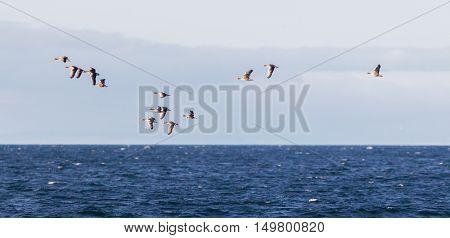 Flock Of Geese Anser Albifrons Flying Over The Atlantic Ocea