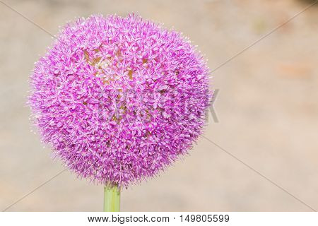Allium Giganteum Flower Blooming In Japan