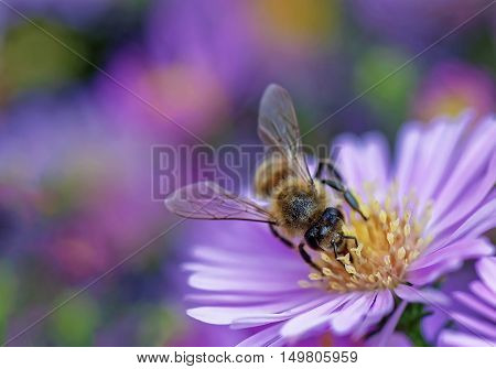 Macro photo of honey bee (Apis mellifera) pollinating a beautiful blooming violet daisy. Blurred colorful background.