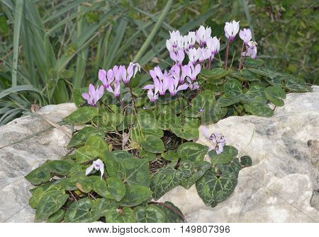 Persian Cyclamen - Cyclamen persicum Flowers and Leaves