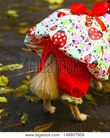 hind part of chihuahua dress on the fall backgroun