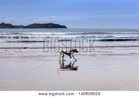 Young dalmatian dog playing on the beach