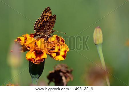 Brown butterfly gathers nectar from orange flower.