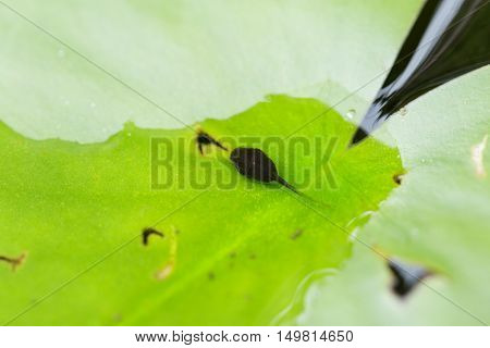 The tadpoles on a leaf lotus in pool