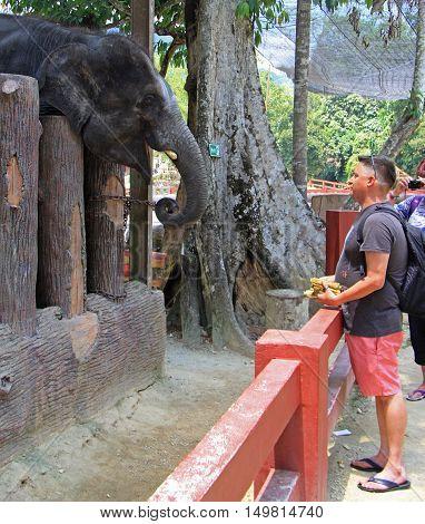 Kuala Gandah Malaysia - April 6 2015: tourist is feeding elephants in National Conservation Centre Kuala Gandah Malaysia
