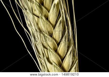 wheat ears studio macro closeup black background