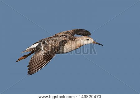Ruff (Philomachus pugnax) in flight with blue skies in the background