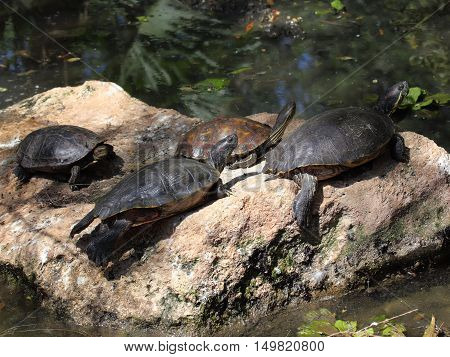 Beautiful turtles on the stone in water