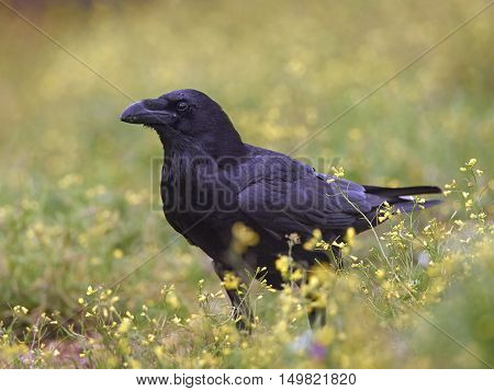 Common raven (Corvus corax) standing in yellow flowers in its habitat