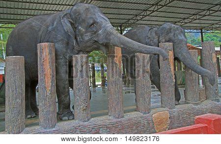 Elephants In National Conservation Centre Kuala Gandah