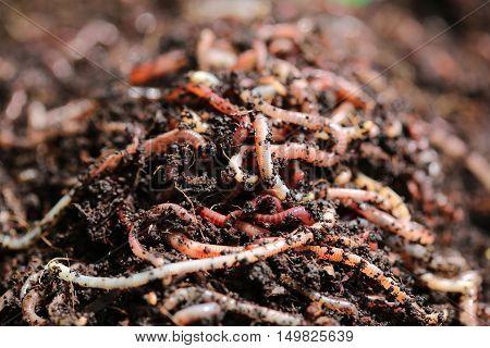 Earthworms (Dendrobena Veneta) for Fishing or Compost