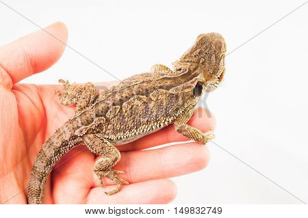 one agama bearded on white background.He is sitting on a human hand