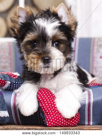 Beaver Yorkshire Terrier Puppy and valentine heart