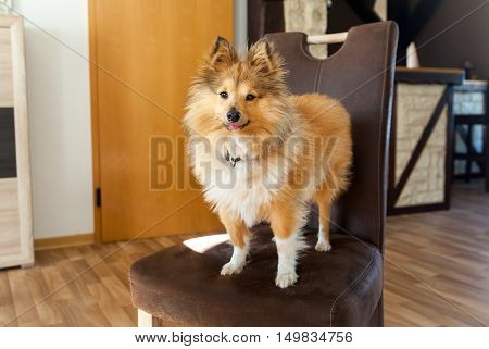 Shetland Sheepdog stands on a brown chair