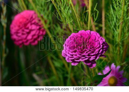 Blooming purple zinnia elegant flower close up