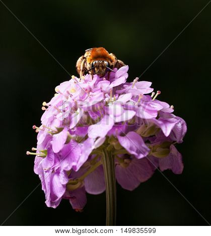 Honey Bee On Flower Head
