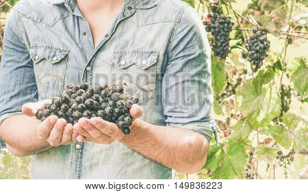 Farmers hands with freshly harvested black grapes - Young man holding San Giovese grape - Focus on grape - Vintage desaturated filter
