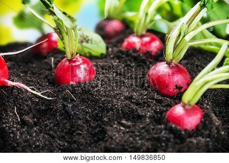 Fresh radishes in vegetable garden or a field. Harvest ripe radishes