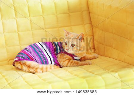 Funny cat in clothes on yellow coach