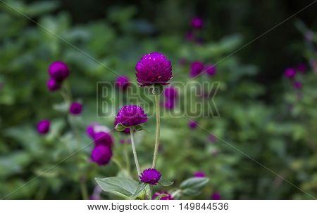 Globe amaranth or Gomphrena globosa flowerpink flower