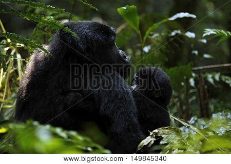 Gorilla with Baby in Bwindi Impenetrable National Park Uganda