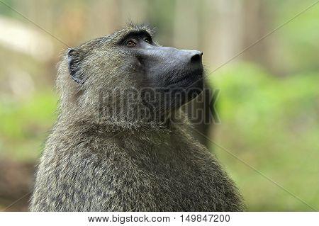 Olive Baboon (Papio Anubis). Bigodi Swam Uganda