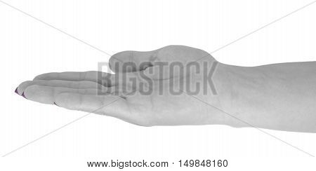 Open hand showing anything, adult female's skin, magenta manicure. Isolated on white background.