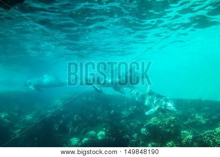 Four dolphins swim and play in a water. Dolphin underwater sea background.