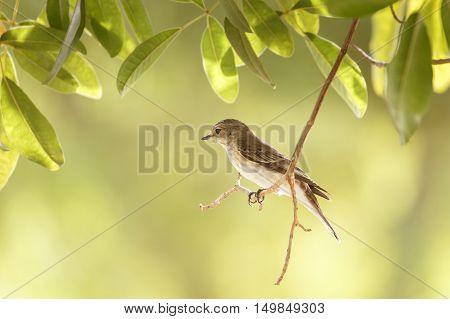 A Spotted Flycatcher in a garden in Bahrain