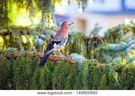 Eurasian jay on a tree in the forest.