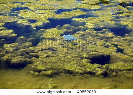 A discarded plastic bag floats amidst the algae in a small lake in Joliet, Illinois during May.