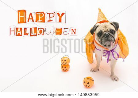 Cute Pug Dog with Halloween pumpkin looks surprised and tongue sticking out with copy space
