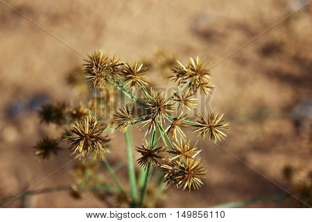 Close up of Papyrus Flower with brown background