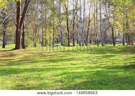 Glade with green grass in park with birches in summer sunny day