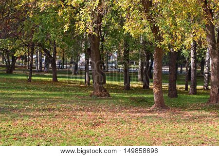 Trees in in fenced park among grass and yellow leaves in autumn day