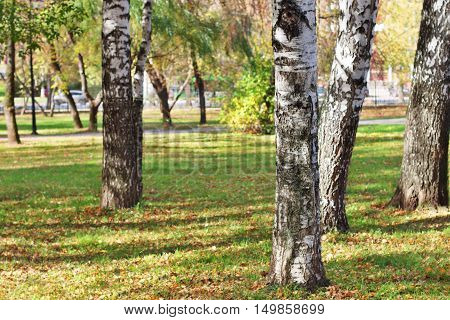 Closeup of trunks of birch trees in park among grass and yellow leaves in autumn day