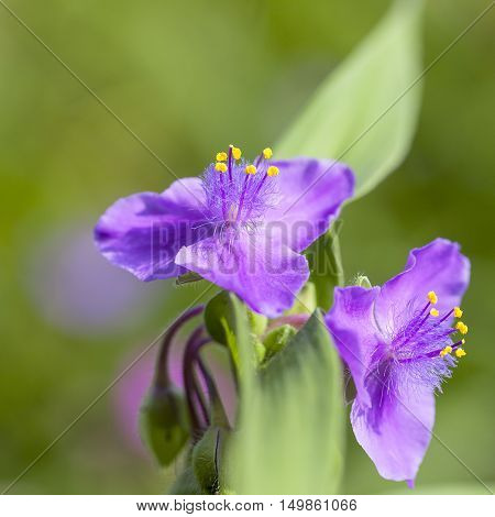 Violet flowers of Tradescantia virginiana in the garden close up