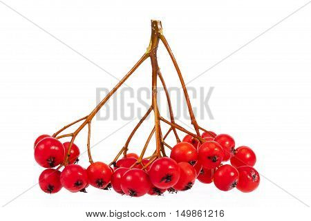 Twig with red fruits of rowan berry isolated on white background.